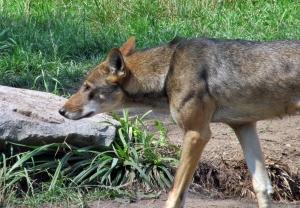 redwolf1